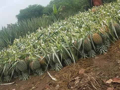 Eva's pineapple harvest