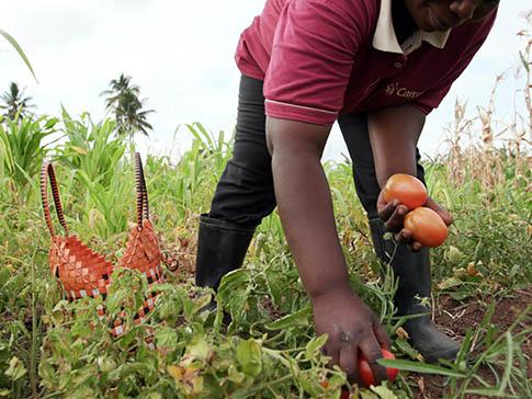 Mwanaisha picking tomatoes